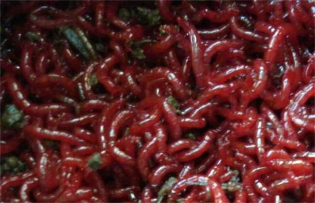 红虫简易养殖方式