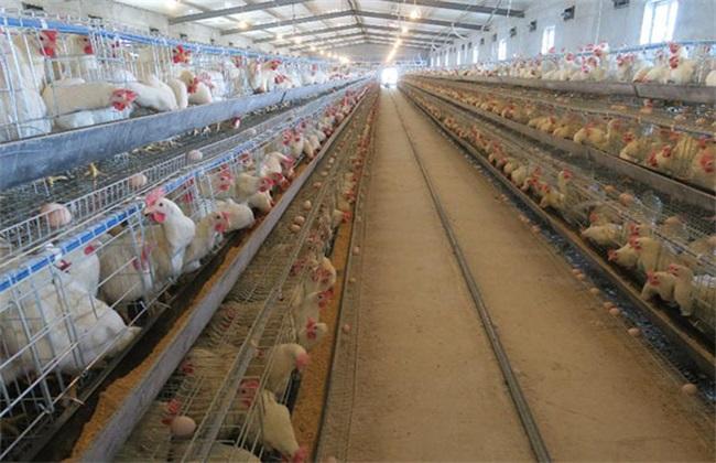 蛋鸡饲养管理技术