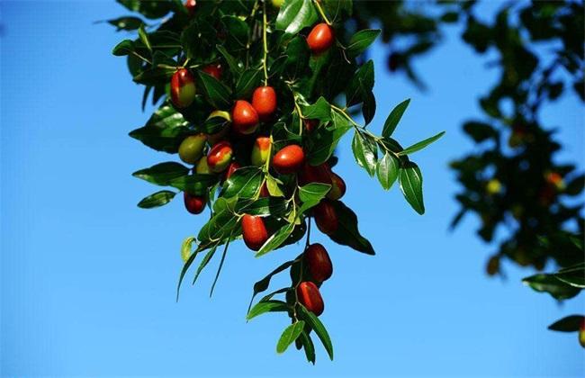 枣树座果率的原因
