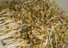 豆芽烂芽的原因及解决方法
