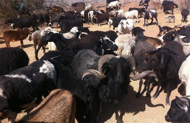 乌骨羊养殖前景怎么样