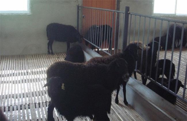 乌骨羊 养殖前景 怎么样