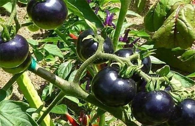 黑番茄的种植前景