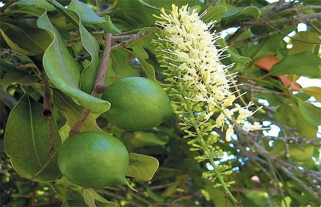 夏威夷果的种植技术