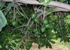 夏威夷果生长对环境条件要求