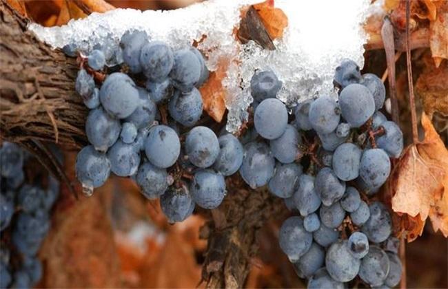 冰葡萄的种植技术