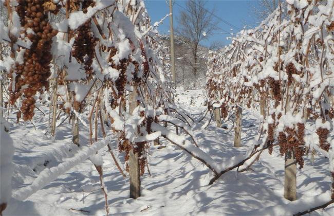 冰葡萄 种植 技术