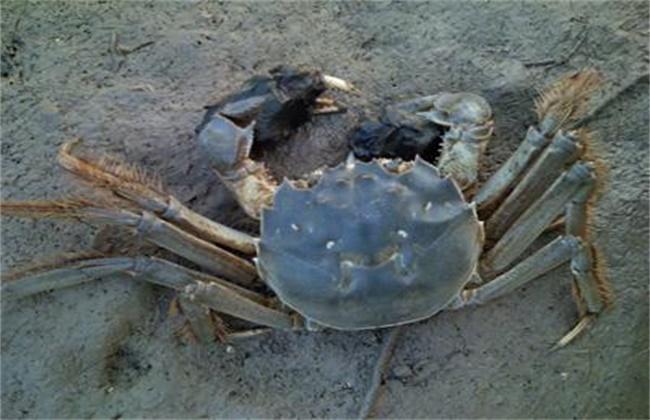 河蟹颤抖病的防治技术