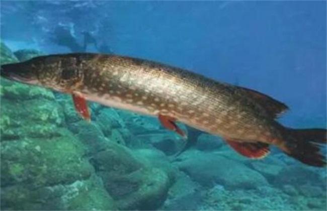 白斑狗鱼养殖前景怎么样