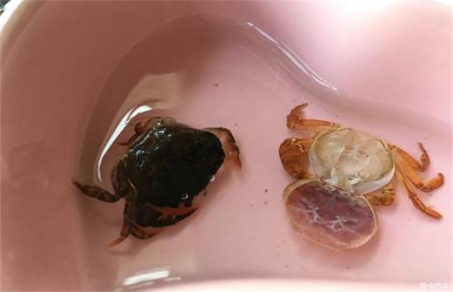 青蟹蜕壳不遂的防治方法