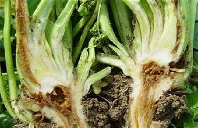 芹菜软腐病 症状 防治