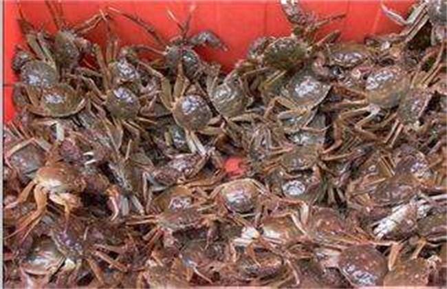 河蟹早熟的原因及预防措施