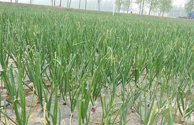 洋葱种植的田间管理技术