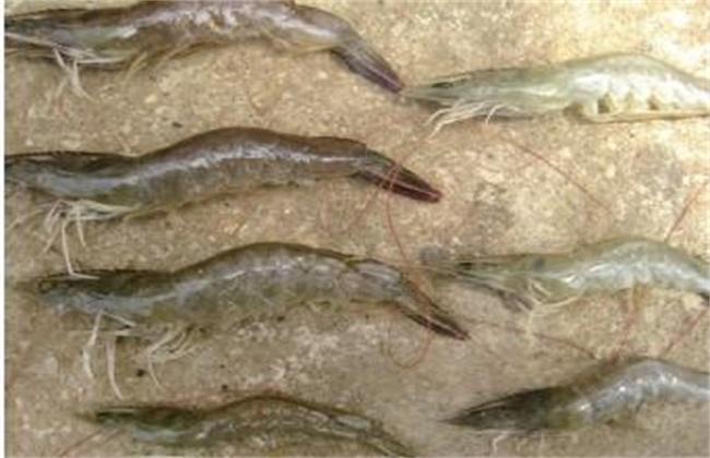 如何预防对虾偷死病