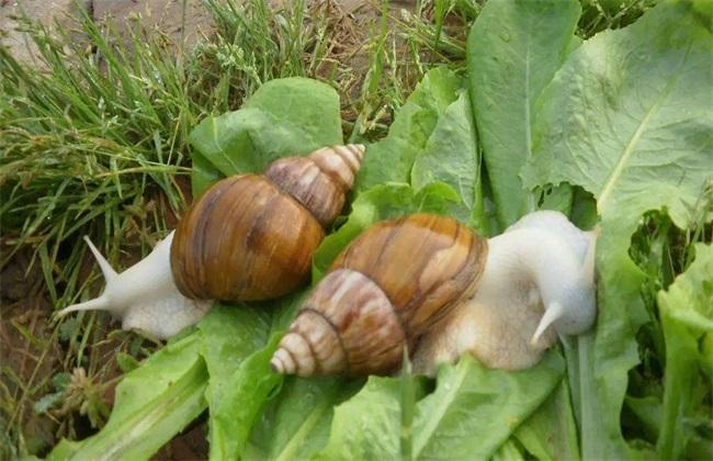 蜗牛有哪些养殖模式
