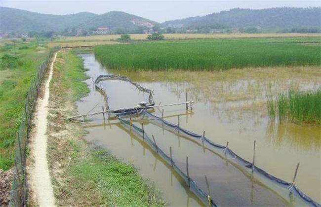 基围虾稻田养殖技术