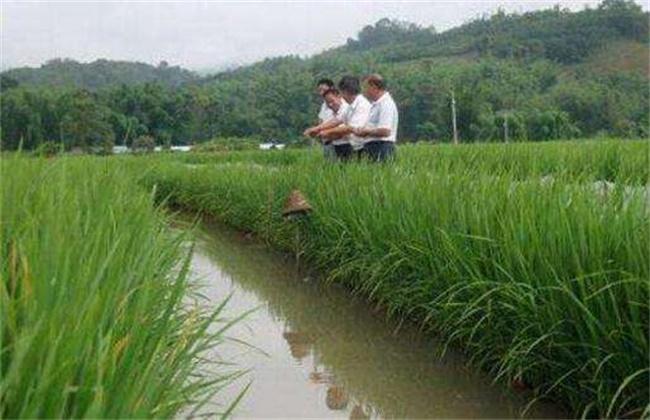 稻田养殖基围虾注意事项