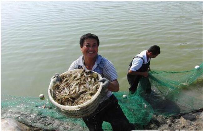 基围虾的饲养管理