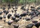 火鸡养殖的注意事项