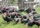 火鸡的饲养管理要点