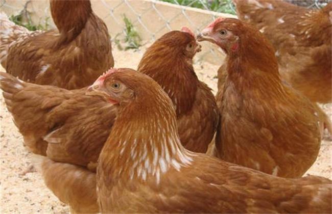 笼养蛋鸡软腿病原因