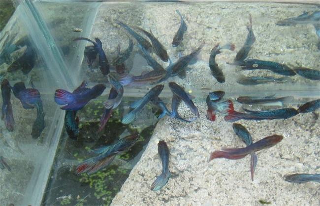 斗鱼养殖的注意事项