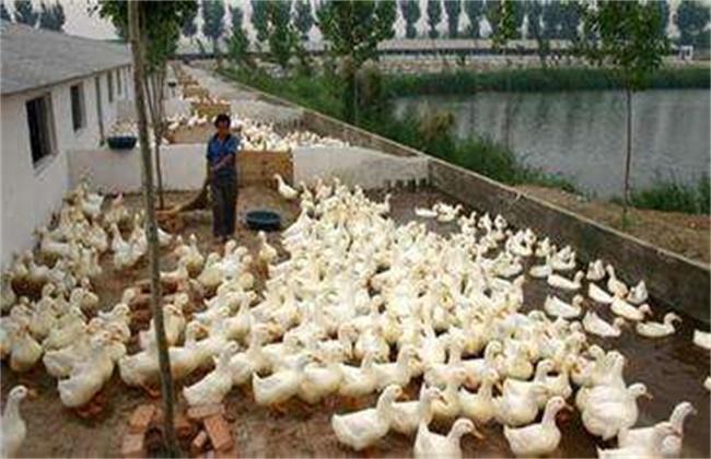 蛋鸭养殖注意事项