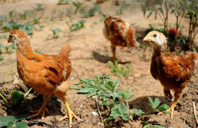散养鸡 养殖 方法