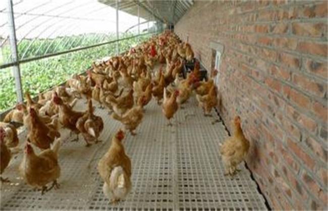 春季蛋鸡饲养注意事项