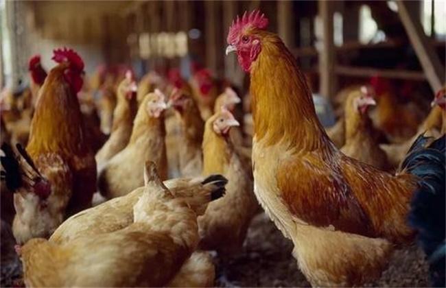 如何使蛋鸡多产蛋