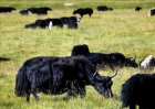 牦牛的养殖前景如何