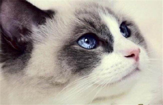 布偶猫养殖注意事项