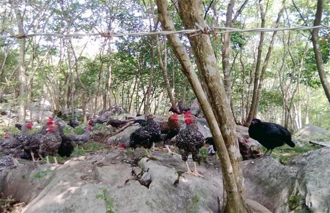 生态养鸡的注意事项