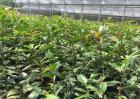 金花茶的繁殖方法