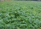 萝卜种植需要注意的一些问题
