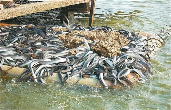 鳗鱼养殖条件