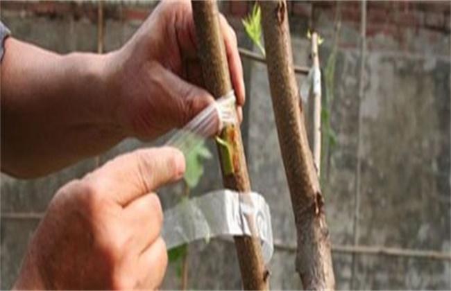桃树的嫁接时间和方法
