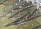 鲈鱼养殖的注意事项