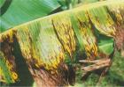 香蕉叶斑病的防治技术