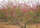 桃树春季管理要点