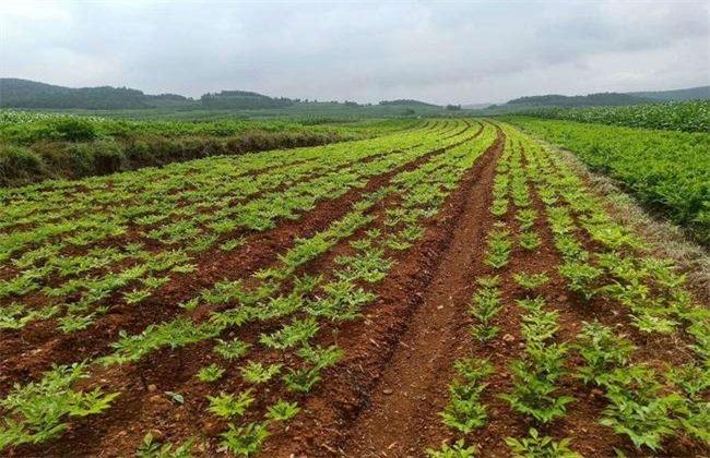 魔芋种植条件