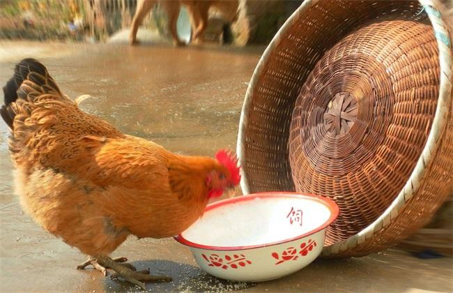 蛋鸡 饲料 注意事项