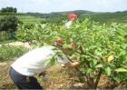 番石榴种植管理技术