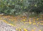 柑橘第二次生理落果怎么办