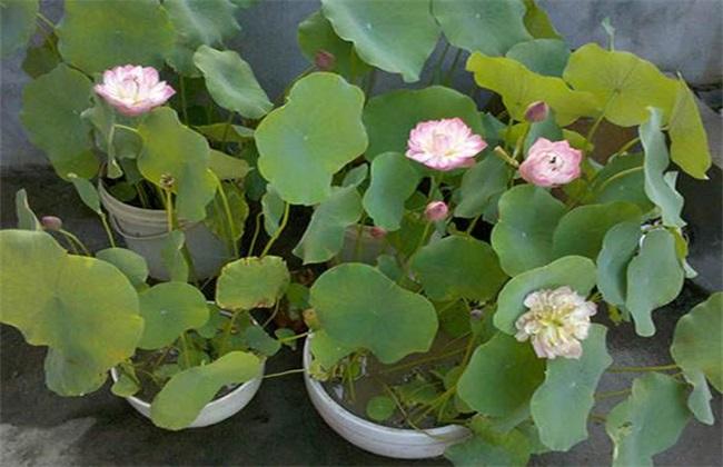碗莲 种植 方法