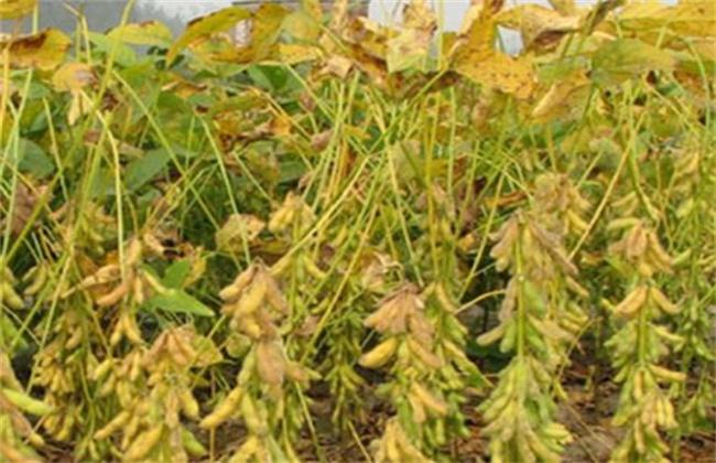 大豆缺素症状及防治方法