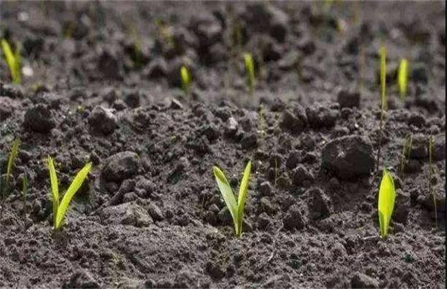 玉米有根无芽的原因及预防方法
