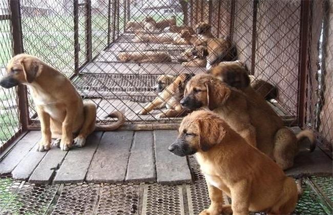 肉狗的养殖技术