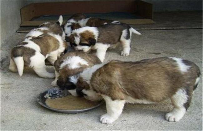 肉狗 养殖 技术