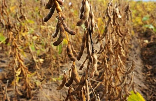 大豆秕粒原因及防治方法